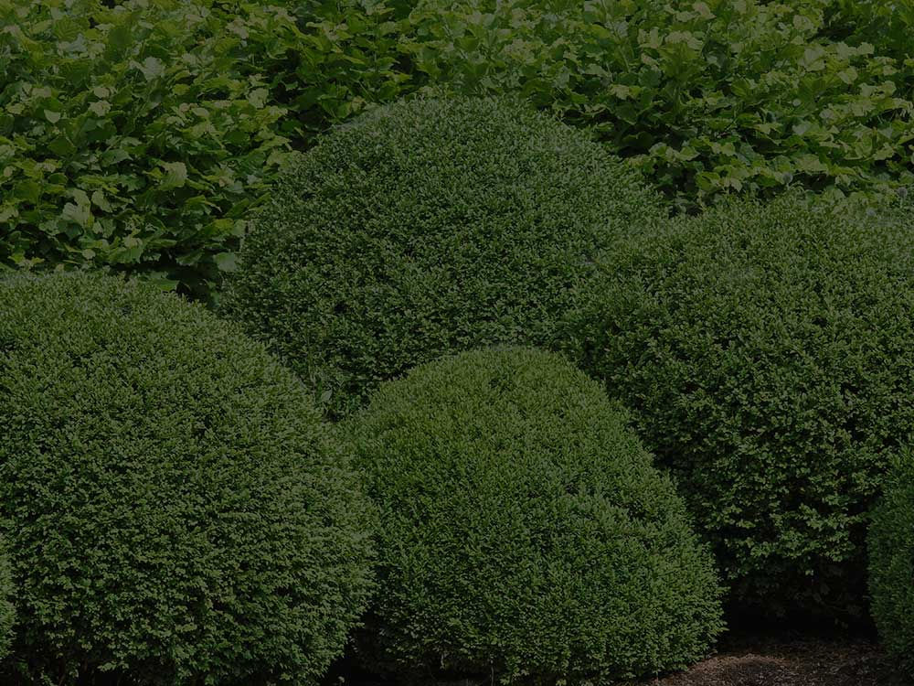Lynnfield Shrubs and Hedges